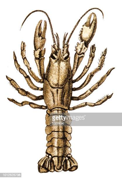 Astacus pachypus, the Caspian crayfish is a species of crayfish found in the Caspian Sea, the Don river, and parts of the Black Sea and Sea of Azov
