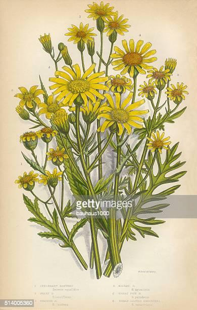 aster, ragwort, tansy, groundsel, victorian botanical illustration - tansy stock illustrations