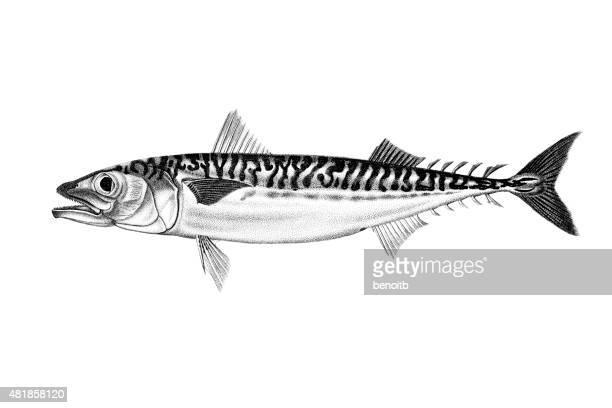 Atlantic Chub Mackerel