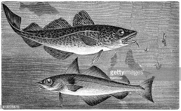 Atlantic cod (Gadus morhua) and Haddock (Melanogrammus aeglefinus)