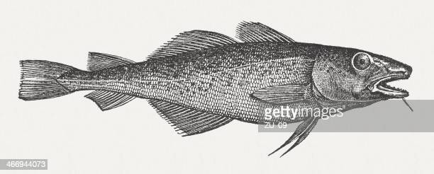 Atlantic cod (Gadus morhua), wood engraving, published in 1865