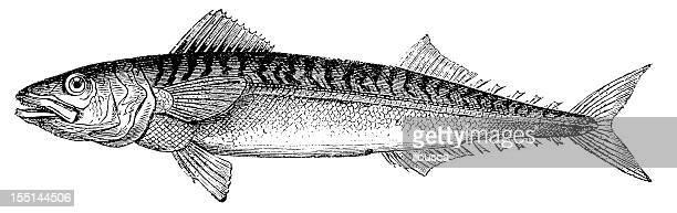 ilustrações, clipart, desenhos animados e ícones de cavala atlântico (scomber scombrus - zoologia