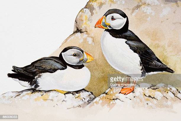 atlantic puffins (fratercula arctica), one seated and the other standing, side view - other stock illustrations, clip art, cartoons, & icons