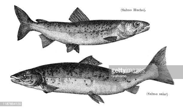illustrations, cliparts, dessins animés et icônes de illustration de poissons de saumon atlantique et de hucho 1895 - saumon