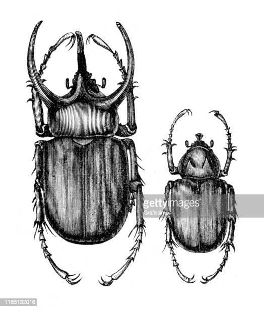 illustrazioni stock, clip art, cartoni animati e icone di tendenza di atlas beetle ( chalcosoma atlas ) illustration - coleottero