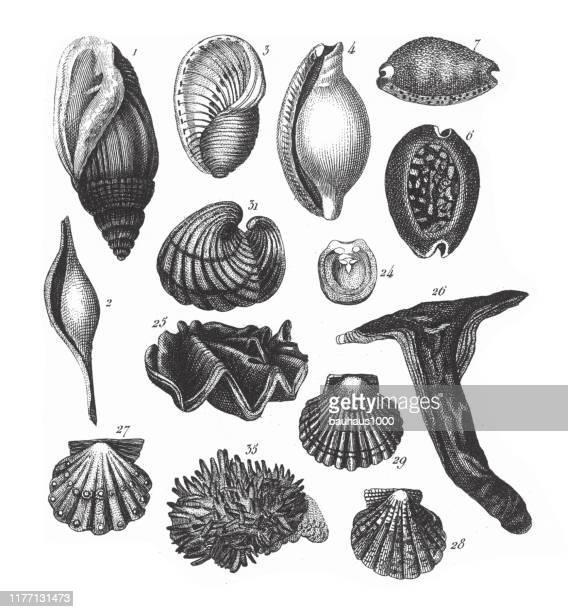 アウリキュラ・ミダエ、フィラ・モルスカ、エヒンダーマタ、クテノフォラ、アルトロポダ彫刻アンティークイラスト、1851年発行 - スカラップ模様点のイラスト素材/クリップアート素材/マンガ素材/アイコン素材