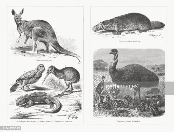 australian and new zealand animals, wood engravings, published in 1897 - duck billed platypus stock illustrations