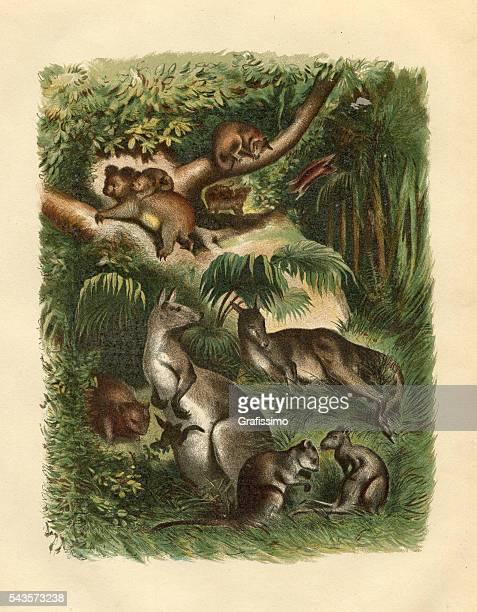ilustrações de stock, clip art, desenhos animados e ícones de canguru marsupial coala australiana wallaby (kit 1) - marsupial