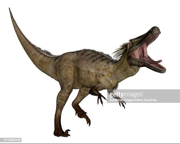 austroraptor dinosaur roaring, isolated on white background. - velociraptor stock illustrations