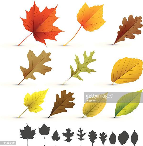 autumn leaves collection - oak leaf stock illustrations