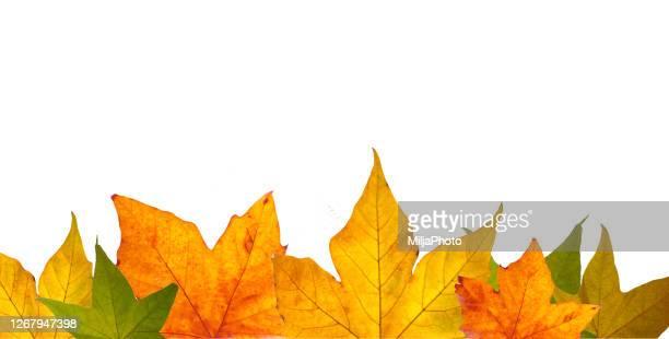 stockillustraties, clipart, cartoons en iconen met de sjabloon van de herfst met lege ruimte en de herfstbladeren - esdoornblad