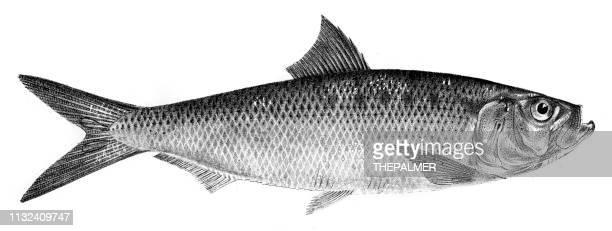 Arenque de Autumnal gfish grabado 1842