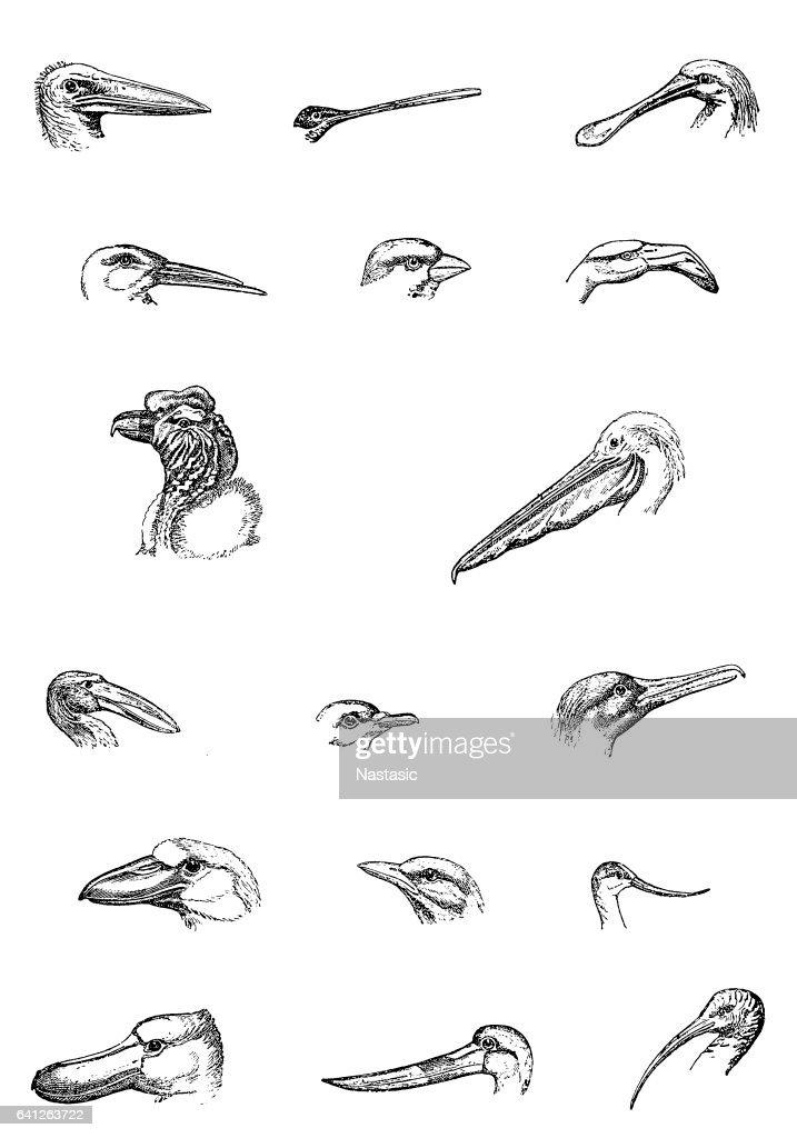 Aviculture : Ilustración de stock