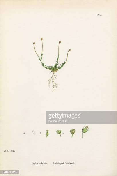 Awl-shaped Pearlwort, Sagina subulata, Victorian Botanical Illustration, 1863