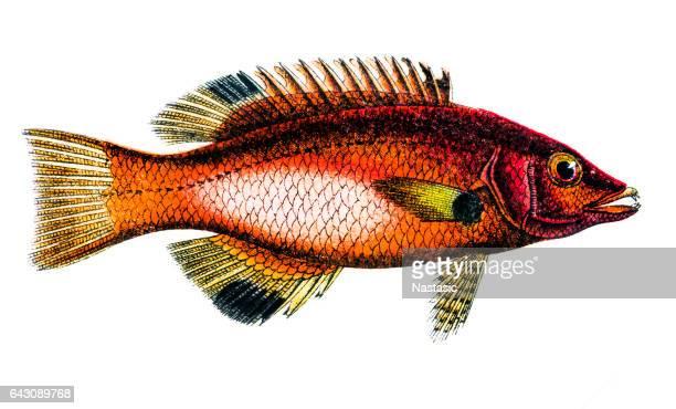 Axilspot hogfish (Cossyphus axillaris)