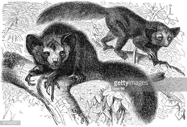 ilustrações, clipart, desenhos animados e ícones de ai-ai - animais em extinção