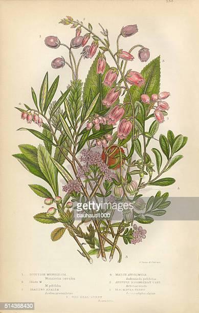 bildbanksillustrationer, clip art samt tecknat material och ikoner med azalea, andromeda, menziesia, heath, heather, scotland, victorian botanical illustration - litografi