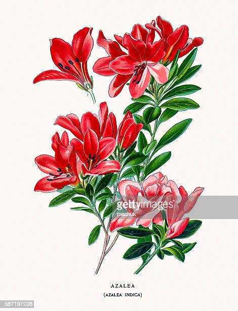 azalea flower - lithograph stock illustrations