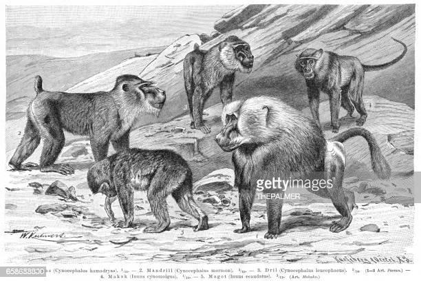 baboon monkeys engraving 1895 - mandrill stock illustrations, clip art, cartoons, & icons