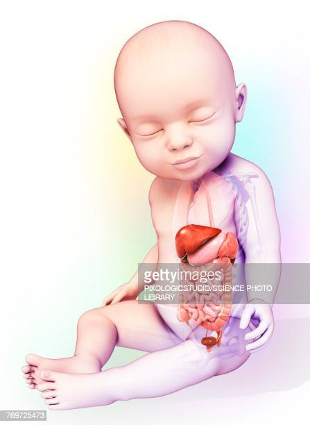 babys digestive system, illustration - baby stock illustrations