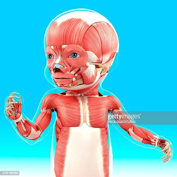 baby's muscular system, artwork - baby stock illustrations