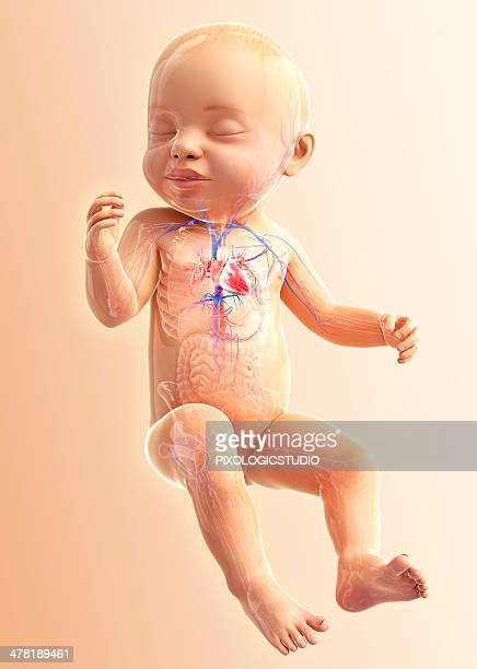 baby's respiratory system, artwork - baby stock illustrations