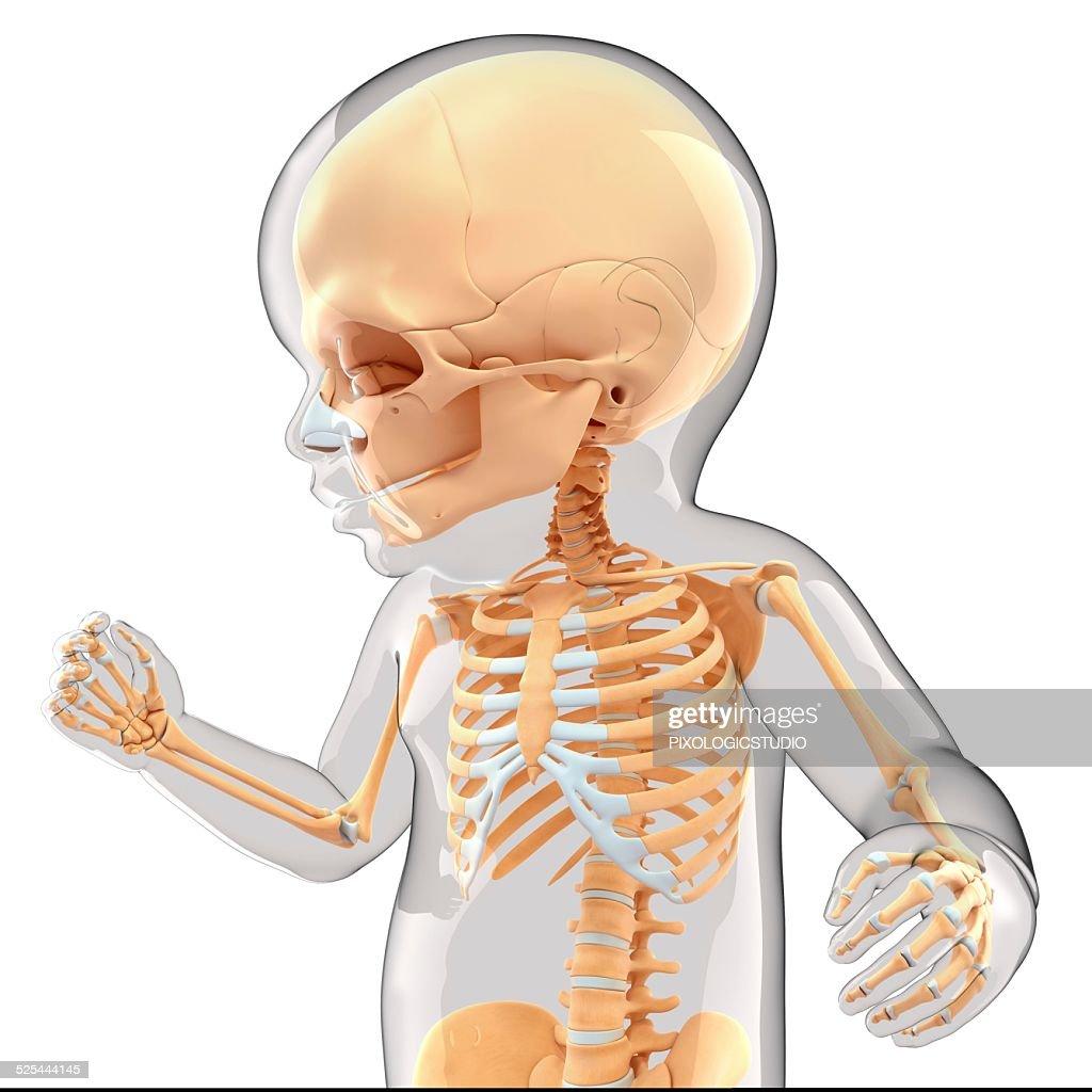 Babys Skeletal System Artwork Stock Illustration Getty Images