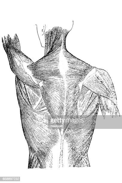 back muscles anatomy - tissue anatomy stock illustrations, clip art, cartoons, & icons