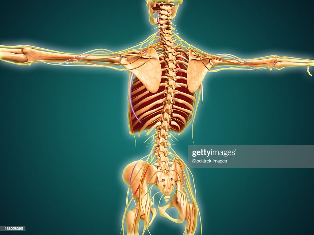Back View Of Human Skeleton With Nervous System Arteries And Veins