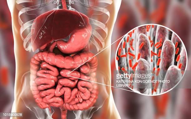 bacteria in human intestine, illustration - small intestine stock illustrations