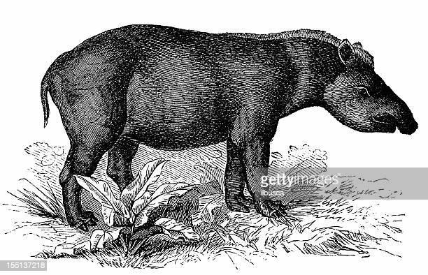"Tapir de Baird ""(Tapirus Bairdii"