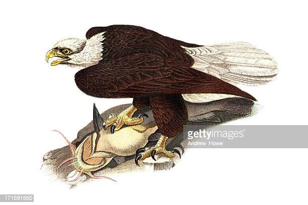 bald eagle engraving - bald eagle stock illustrations