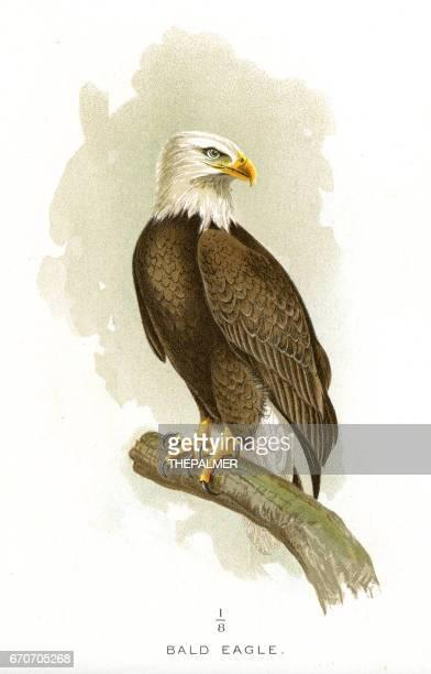 bald eagle lithograph 1897 - bald eagle stock illustrations