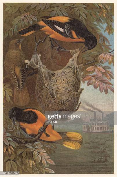 baltimore oriole (icterus galbula), lithograph, published in 1882 - baltimore maryland stock illustrations, clip art, cartoons, & icons