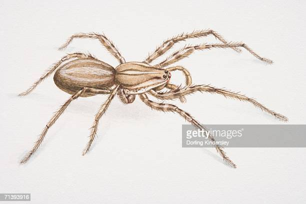 banana spider or brazilian wandering spider, phoneutria fera, side view. - {{relatedsearchurl('racing')}} stock illustrations, clip art, cartoons, & icons