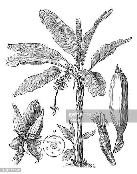 banana tree (musa paradisiaca) - tropical tree stock illustrations