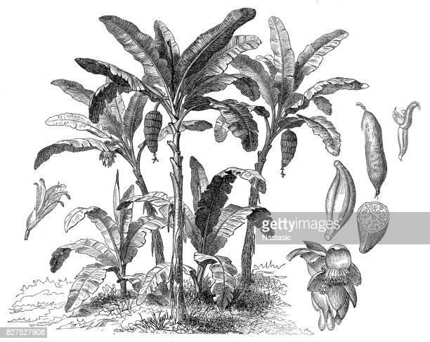 banana tree (musa paradisiaca) - banana stock illustrations, clip art, cartoons, & icons