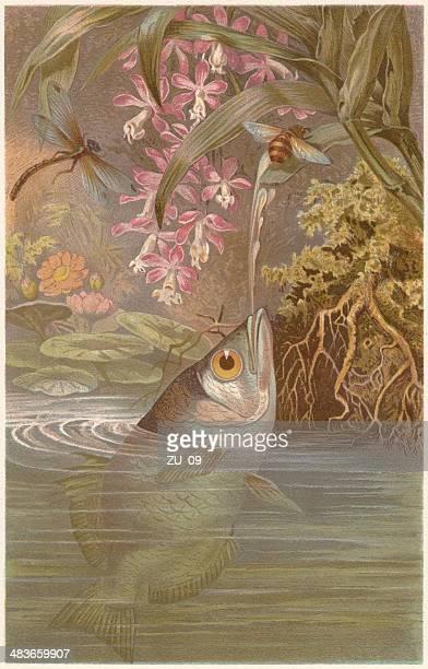 ilustraciones, imágenes clip art, dibujos animados e iconos de stock de banda pez arquero (toxotes jaculatrix), publicación 1884 - biodiversidad
