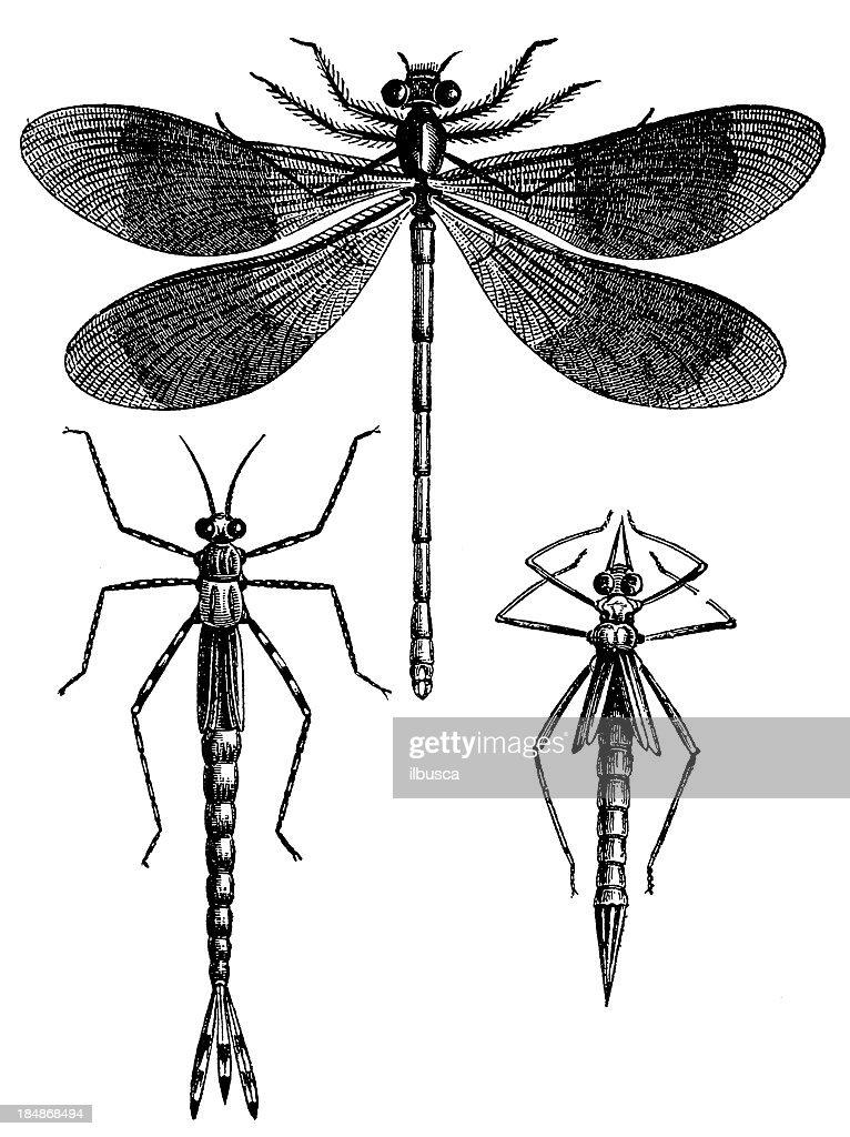 Banded Demoiselle (Calopteryx Splendens) : stock illustration