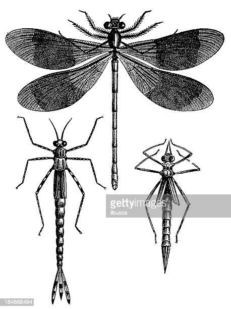 banded demoiselle (calopteryx splendens) - odonata stock illustrations, clip art, cartoons, & icons