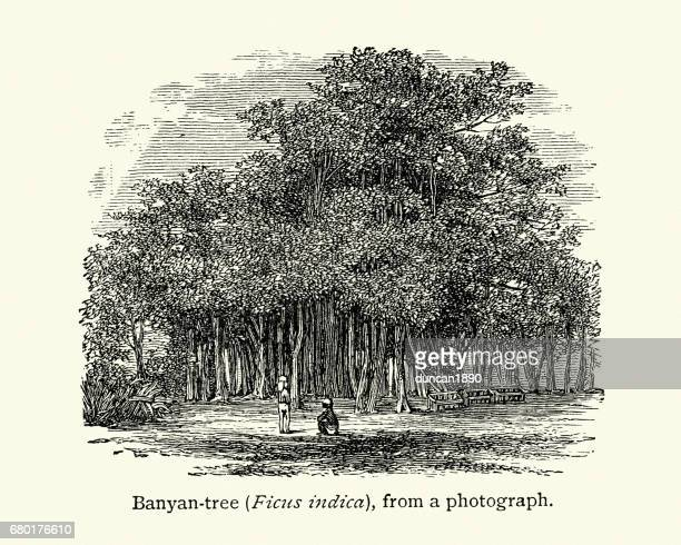 Banyan Tree Stock Illustrations - Getty Images