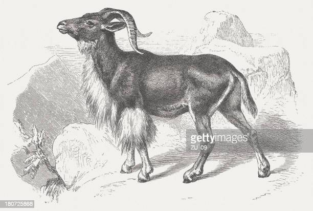 barbary sheep (ammotragus lervia), wood engraving, publishjed in 1875 - ram animal stock illustrations, clip art, cartoons, & icons