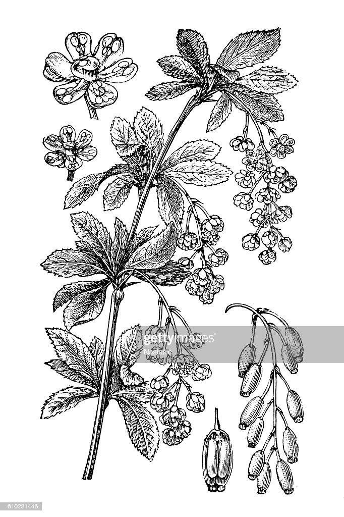 Barberry (Berberis vulgaris) : stock illustration