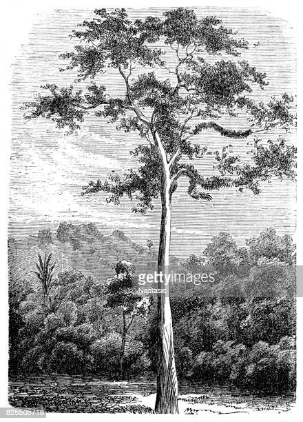 Bark cloth tree, antiaris, false iroko, false mvule or upas tree (antiaris toxicaria)
