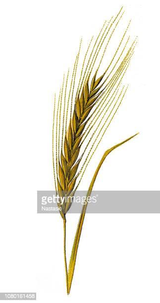 ilustraciones, imágenes clip art, dibujos animados e iconos de stock de cebada (hordeum vulgare) - espiga de trigo