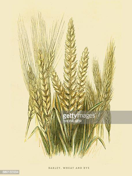 Barley Rye and Wheat illustration 1851