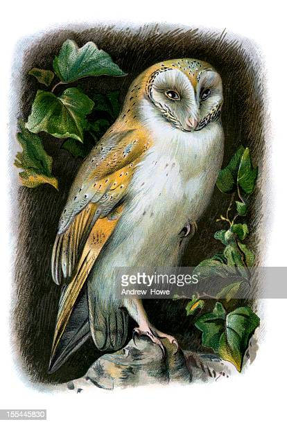 barn owl chromolithograph - 19th century style stock illustrations