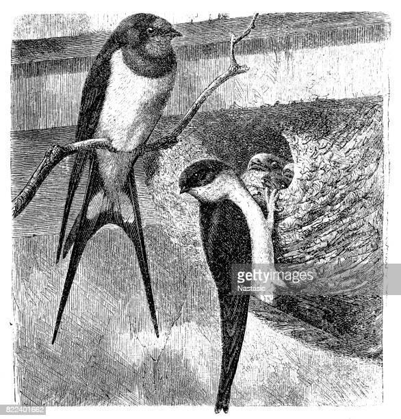 illustrations, cliparts, dessins animés et icônes de hirondelle rustique (hirundo rustica) et la commune maison martin (chelidon urbica) - hirondelle