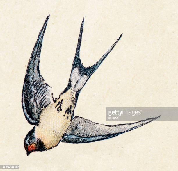 illustrations, cliparts, dessins animés et icônes de hirondelle rustique, oiseaux animaux ilustration antique - hirondelle
