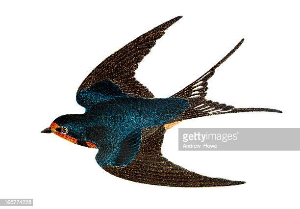 bildbanksillustrationer, clip art samt tecknat material och ikoner med barn swallow - hand coloured engraving - fågel